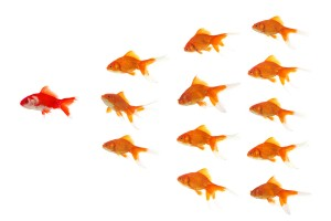 goldfishes in formation, red goldfish is leading